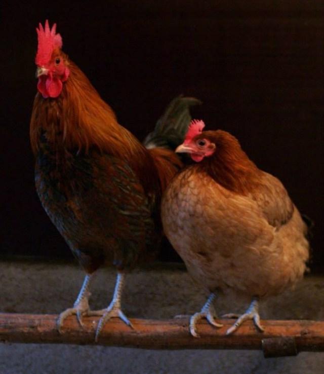 El pollo vestido