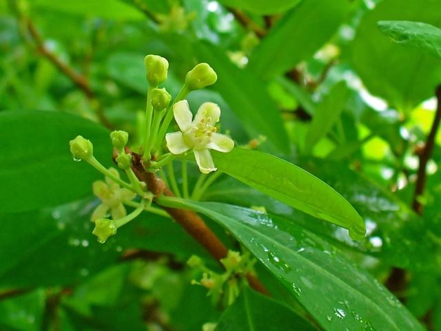 Hojas de coca (Erythroxylum coca)