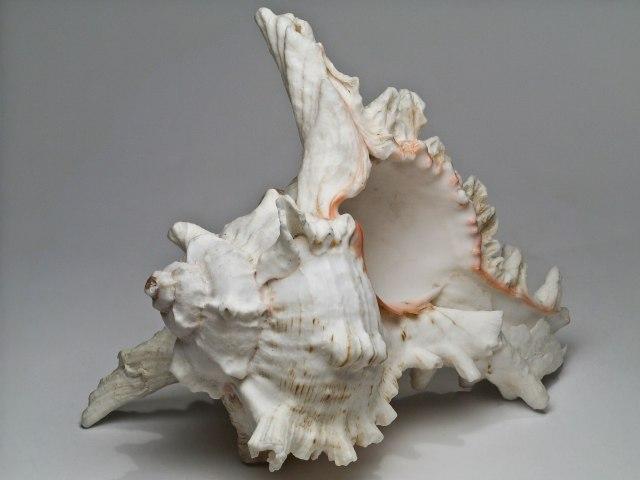 Seashell_1